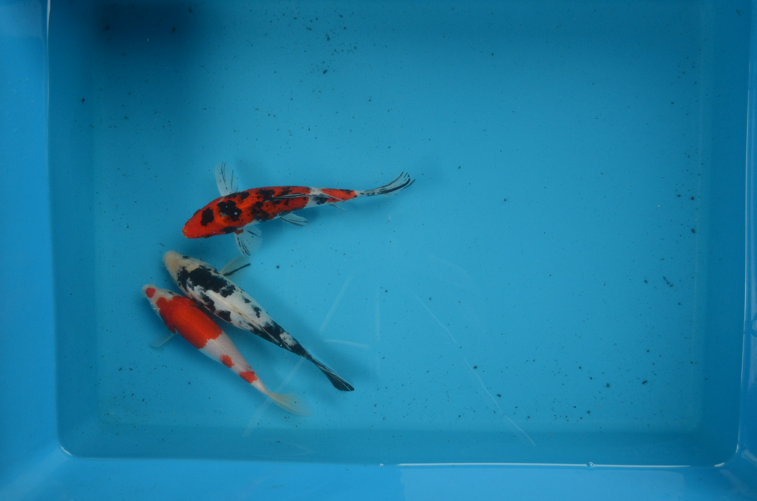 Select 8 inch Koi Package 3pcs