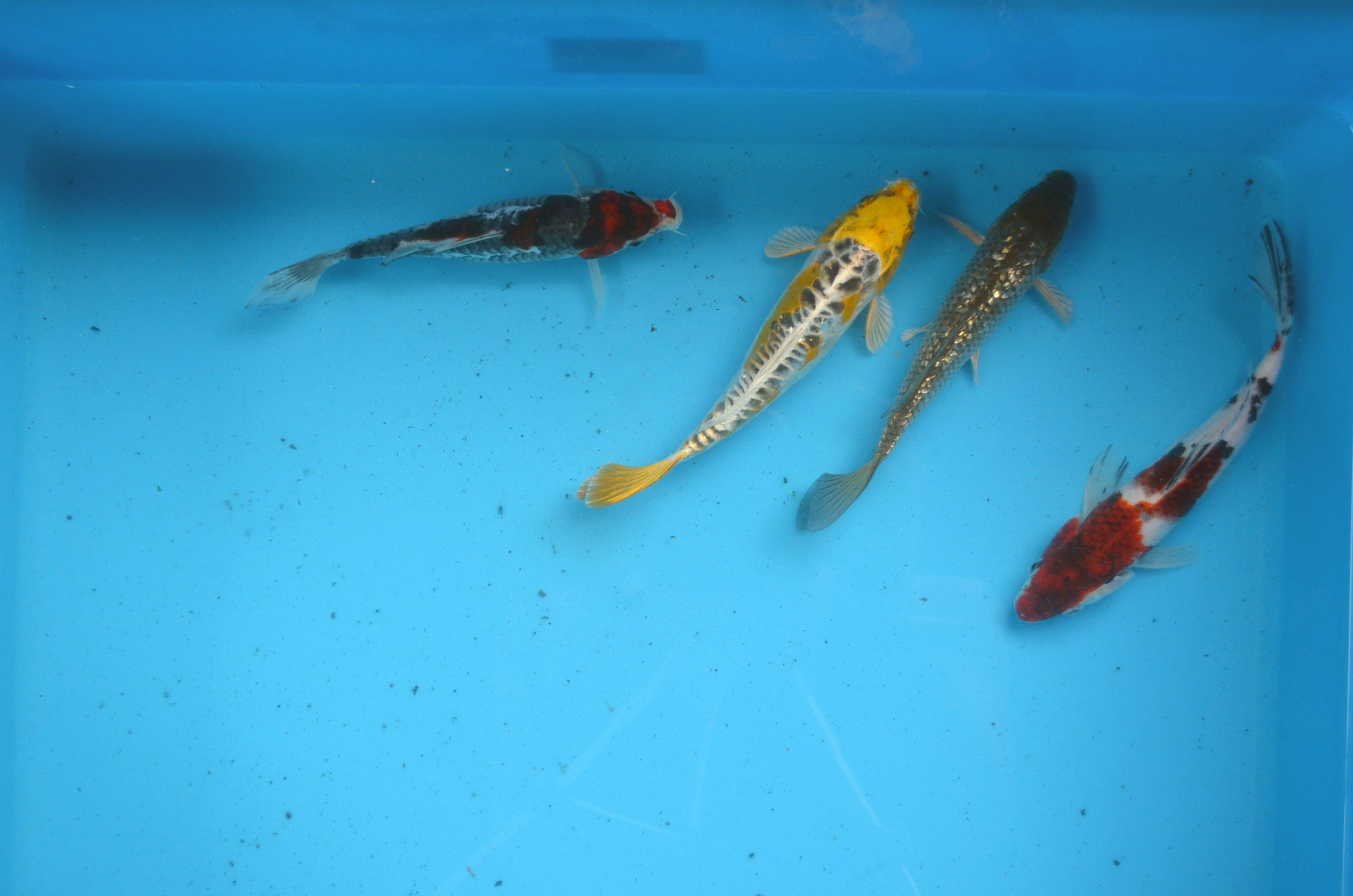 Select 8 inch Koi Package 4pcs